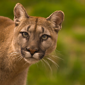 Puma by Darren Whiteley - Animals Lions, Tigers & Big Cats ( big cat, cat, mountain lion, puma, eyes,  )