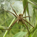 Nursery Web Spider ♀