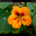 Garden Nasturtium, Indian Cress or Monks Cress