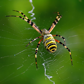 by Nikša Šapro - Animals Insects & Spiders