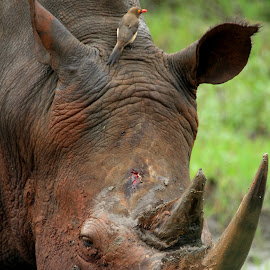 Rhino Rub by Greg Labuscagne - Animals Other Mammals