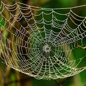 by Shrikrishna Bhat - Nature Up Close Webs ( , web, spiderweb )