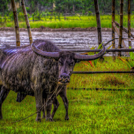 Philippine Carabao by Nick Foster - Animals Other ( carabao, farmland, cow, philippines, rain )