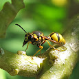 Wondrous Wasps of Southern California
