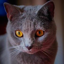 My current model :-) by David Gonzalez - Animals - Cats Portraits ( kitten, curiosity, still life, beauty, portrait )