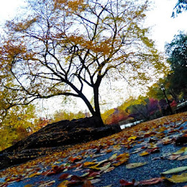 Baring It All by Angelique de Vos - Landscapes Prairies, Meadows & Fields ( tree, autumn leaves, autumn, new york, central park, fallen leaves,  )