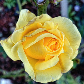 yellow rose  by Feona Green-Puttock - Instagram & Mobile Android ( rose, flower head, yellow flower )