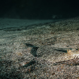Friendly sole. by Alexandre Ribeiro Dos Santos - Animals Fish ( pico island, atlantic ocean, açores, underwater photography, bothus podas, wide-eye flounder, portugal, sole, azores )