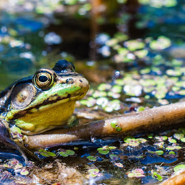 Green Frog by Steve McCaffrey - Animals Amphibians ( up close, nature, marsh, wildlife, frogs, swamp )