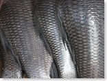 350px-Fish_scales
