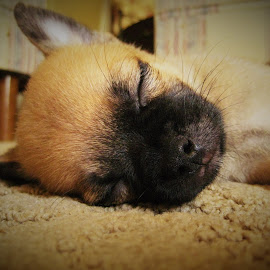 red sleeping by Terry Fultineer - Animals - Dogs Puppies ( puggeranian )