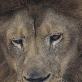 tutlek by Zoran Osijek - Animals Lions, Tigers & Big Cats ( #osijek )