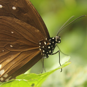 Butterfly by Kelly Lippitt - Animals Insects & Spiders ( butterfly, macro, wings, leaf, symmetry )