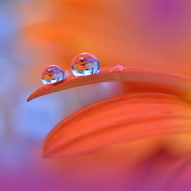 ``o``o``o`` by Juliana  Nan - Nature Up Close Natural Waterdrops ( water, picturesque, macro, drop, art, reflections, nikon, close up, flower )