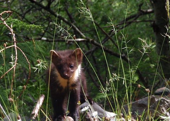 A young pine marten.  Cutest.  Animal.  Ever.