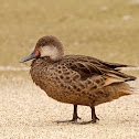Patillo (White-cheeked Pintail)