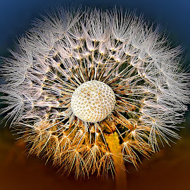 From the Earth To the Air by Marija Jilek - Nature Up Close Other plants ( dandelion, nature, plants, air, seeds, earth )