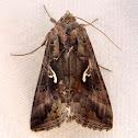 Polilla Plusia, Moth Silver Y