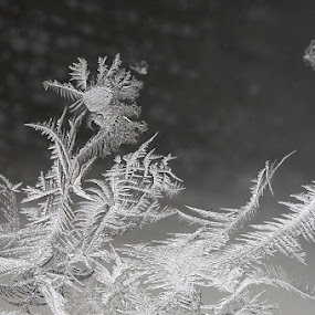 Ice Flower Against the Wind by Jean Photo-Vigneault - Nature Up Close Other plants