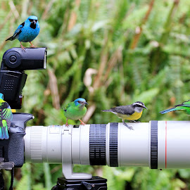 Selfie!   by Itamar Campos - Animals Birds ( tanager, bananaquit, saira azul, cambacica, saira sete cores )
