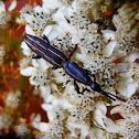Brentus weevil