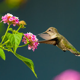 Kiss of life. by Kevin Mummau - Novices Only Wildlife ( hummingbird, wildlife, garden, flower, hummingbirds )