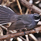 White Throted Fantail