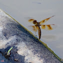 Eastern Amberwing dragonfly (female, oviposition, in flight)