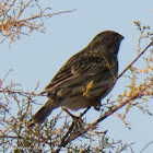 Corn Bunting; Triguera
