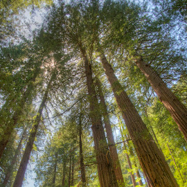 Redwoods by Jim Salvas - Nature Up Close Trees & Bushes ( redwoods, california, trunks, trees, leaves, sunlight, muir woods, tall )
