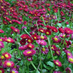 FLOWER GARDEN by Santosh Vanahalli - Flowers Flower Gardens ( flower garden,  )