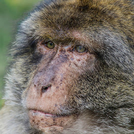 Portrait of a male Barbary macaque by Steve Dormer - Animals Other Mammals