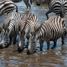 Serengeti, Tanzania Zebra - the African wild horse! by Joe Dries - Animals Horses