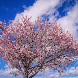 Crabapple in bloom by Karen Martin - Nature Up Close Trees & Bushes ( crabapple tree bloom pink blossom blue sky clouds )
