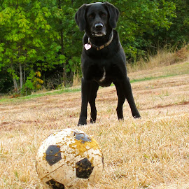 Come on...  by Kaoru Arai-Lewman - Animals - Dogs Playing ( black lab )