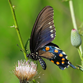 Pipevine Swallowtail Butterfly by Anthony Goldman - Animals Insects & Spiders ( wild, butterfly, pipevine, insect, swallowtail, brooker creek,  )