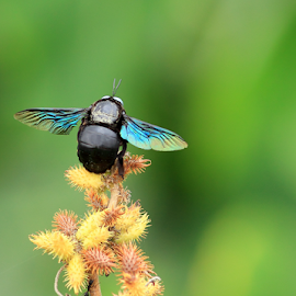Carpenter 'Bee'auty... by BhanuKiran BK - Animals Insects & Spiders ( colorful, bee, colors, carpenter, beautiful, beauty )