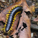 Flat Yellow-Legged Millipede