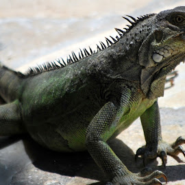 by Sherry Judd - Animals Reptiles ( wild, animals, aruba, iguana, reptile,  )