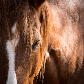 Horse by Gannon McGhee - Animals Horses ( mountains, great, park, national, horse, smoky )