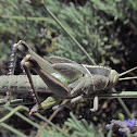 Green tree locust