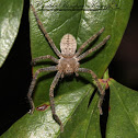 Giant Crab Spider
