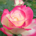 "Rose hybrid ""Love and Peace."""
