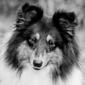 My Handsome Leo  by Kirk Evans - Animals - Dogs Portraits