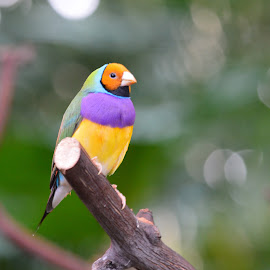 Colourful Gouldian Finch by Tracey Lowrey - Animals Birds ( bird, colourful, bloedel conservatory, finch, gouldian finch )