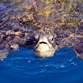 At the Surface by Andy Schwanke - Animals Sea Creatures ( hawaiian green sea turtle, pacific ocean, green sea turtle, ocean, turtle, hawaii )