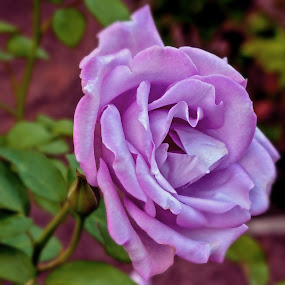 PurpleRose by Joanne Burke - Flowers Single Flower