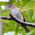 Yellow-Green Vireo?