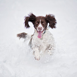 Molly in the snow by Nick Haselwood - Animals - Dogs Playing ( playing, springer spaniel, snow, ears, happy dog )