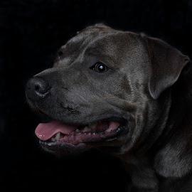 Tank by Sue Niven - Animals - Dogs Portraits ( studio, dog, staffie, portrait, profile )